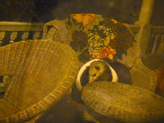 Porch Possum