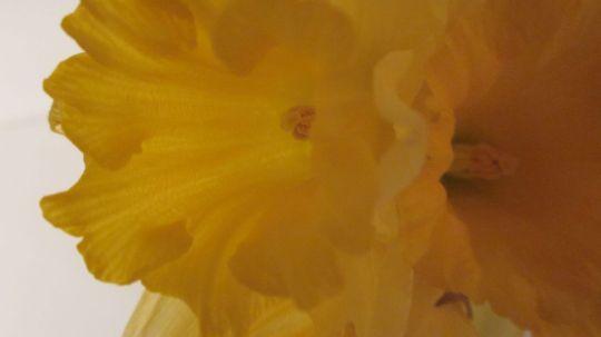 Daffodil Closeup.3:1:13