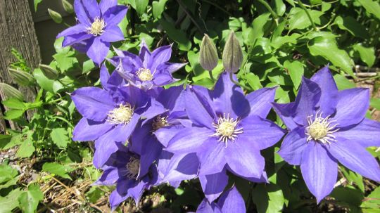 Clematis group