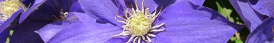 cropped-clematis-5.jpg